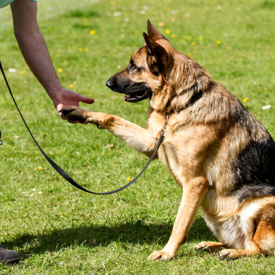 Pet obedience training in Selangor, Malaysia